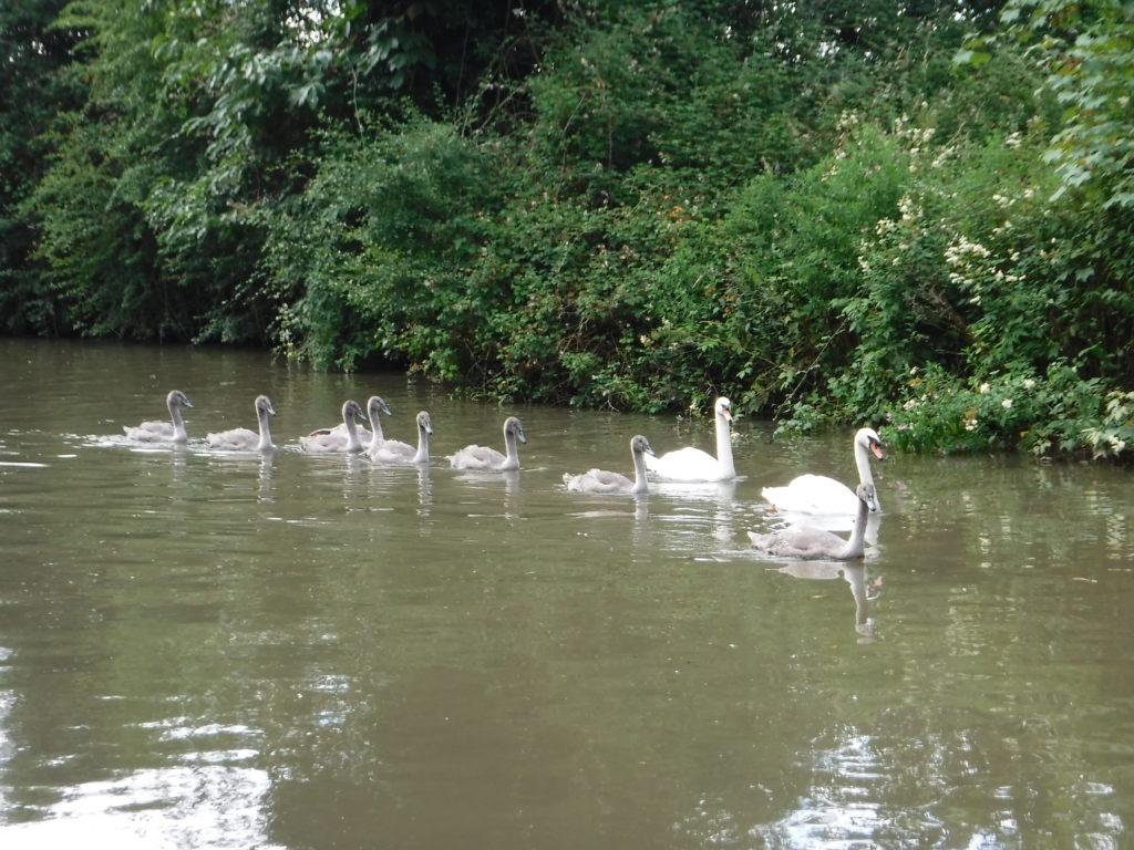 Battle Swans