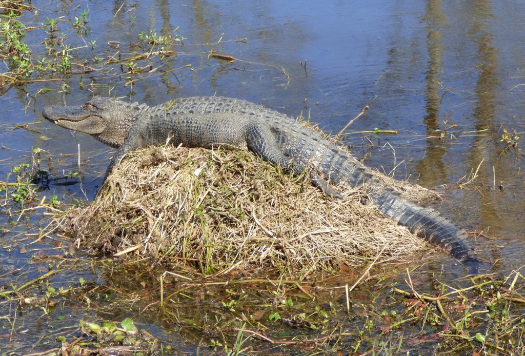 Gator sunbathing