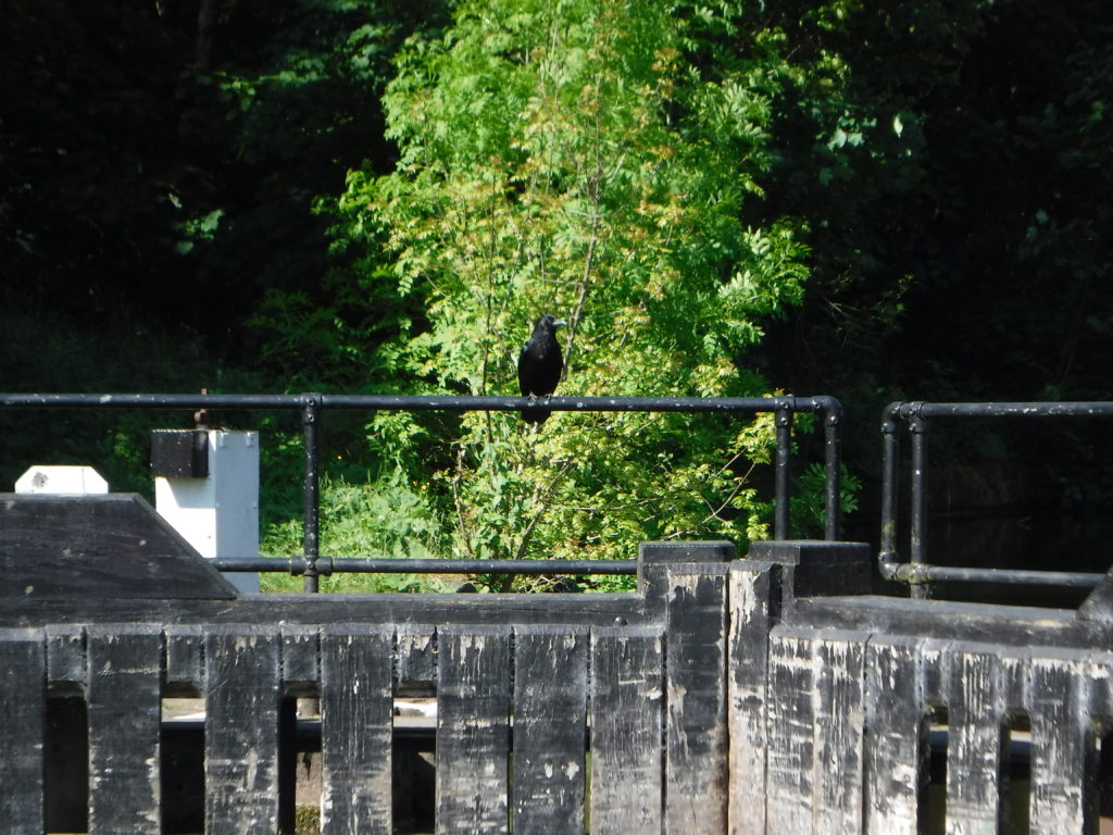 Crow on Lock Gate