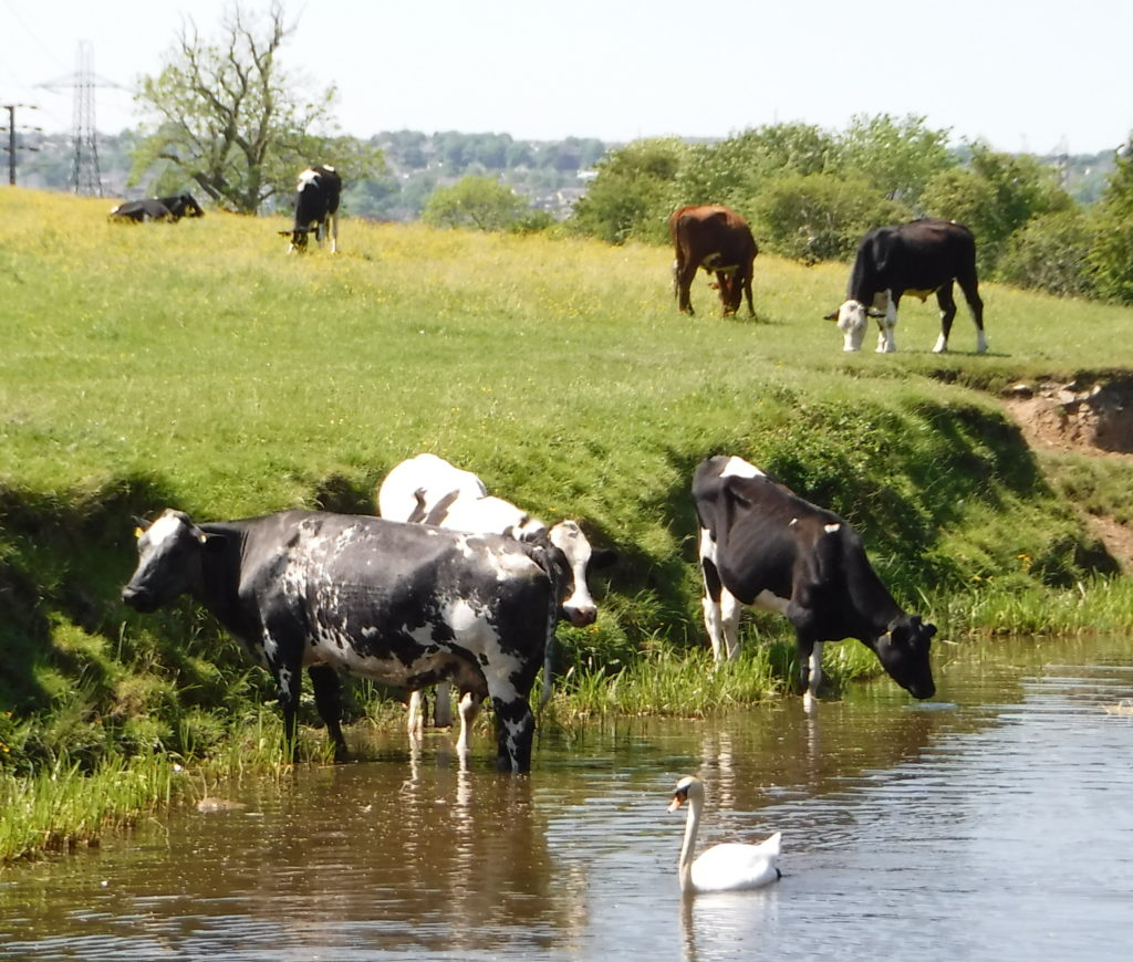Swan and cows