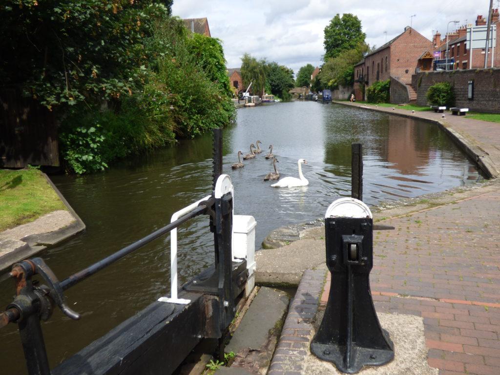 Swan explorers